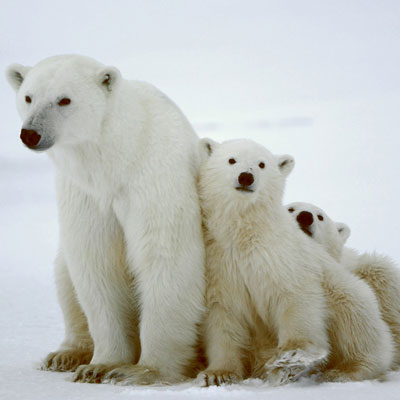 Polar bears and global warming